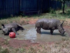 The rhino orphans of Limpopo