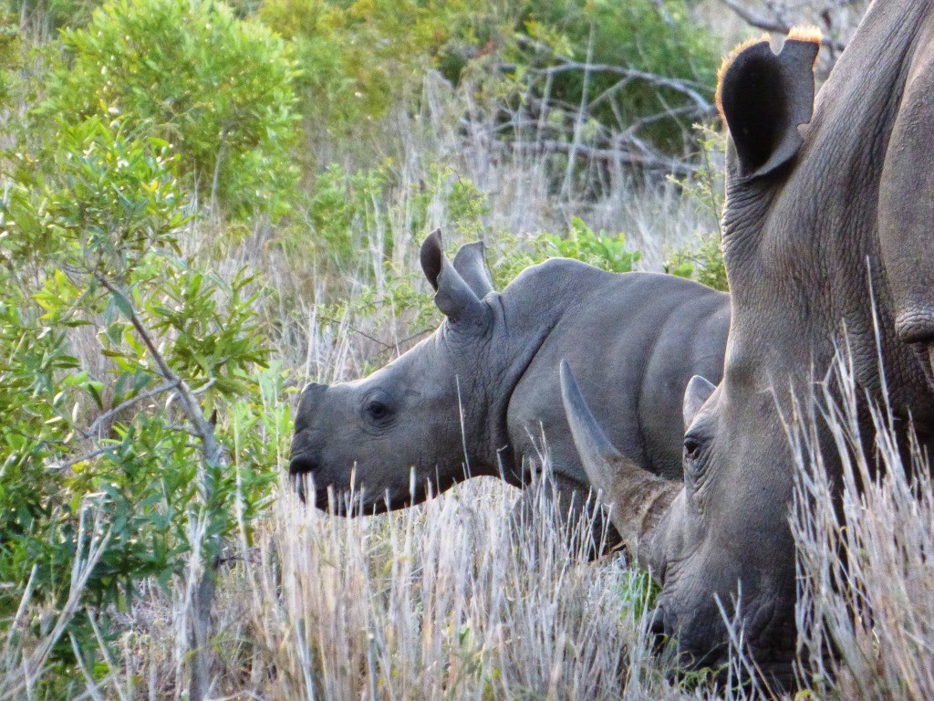 Photo credit: Jamie Joseph - Saving the Wild - Rhino and calf