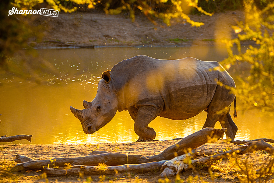 White Rhino by dam at dusk