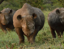 Thomas Mangelsen: Stalking Black Rhino