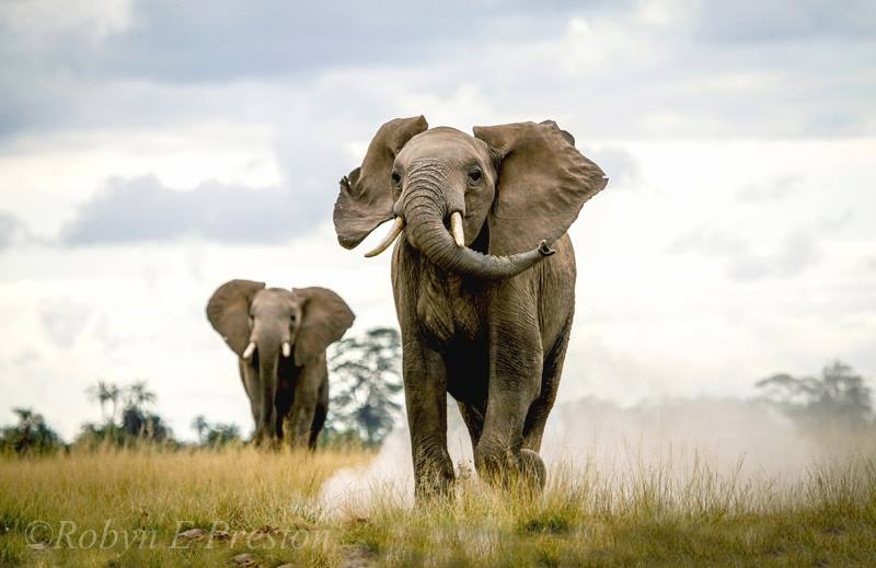 elephant_robyn_preston_photography