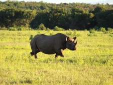 South Africa Weighs Legalisation of Rhino Horn Trade