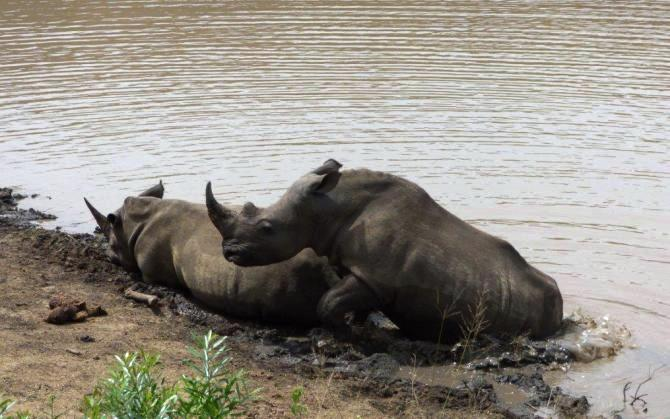 savingthewild_thula_thula_rhinos__ (1)