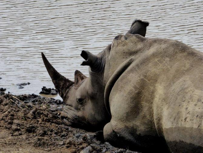 savingthewild_thula_thula_rhinos__ (2)