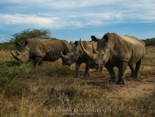 Rhino massacres – Can Ezemvelo handle the truth?