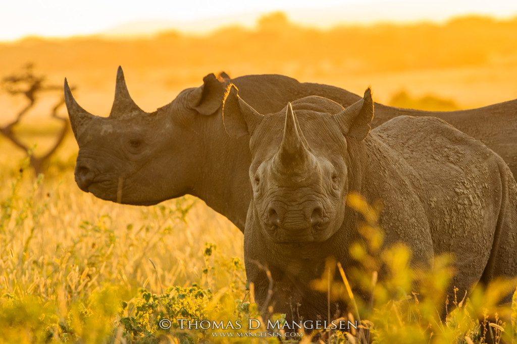 mangelsen-africa-2017-unreleased-black-rhinos-the-golden-hour