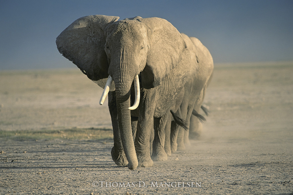wildaid-amboseli-crossing