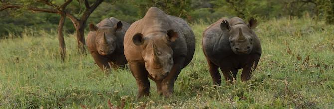 Thomas D. Mangelsen: Stalking Black Rhino
