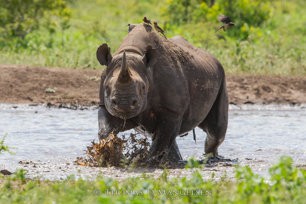 mangelsen_saving_the_wild-black_rhino_charge