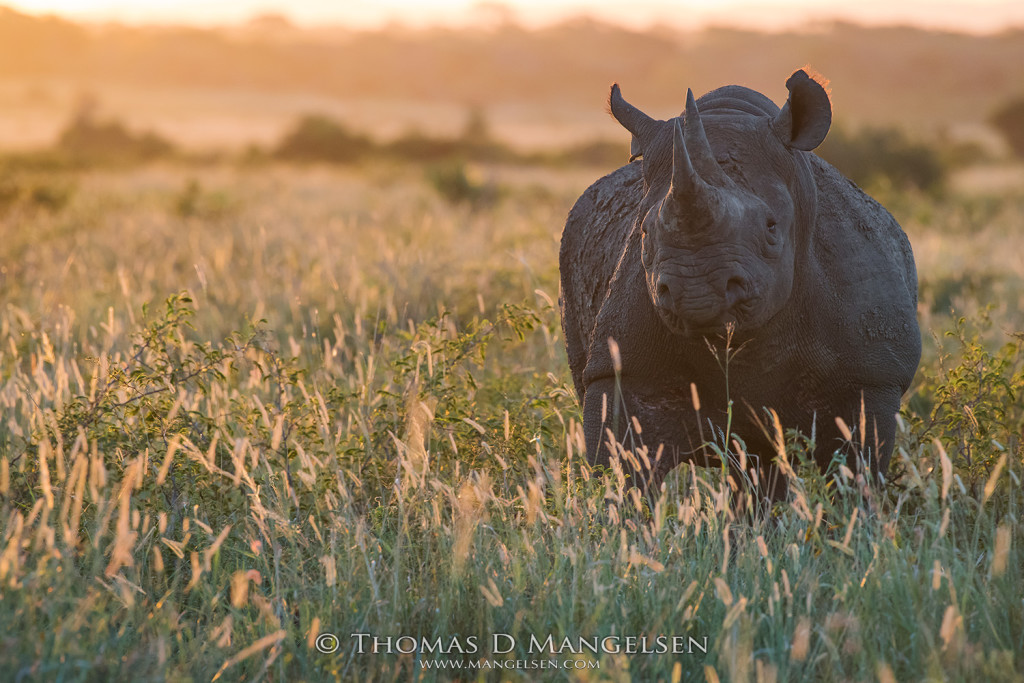 mangelsen_saving_the_wild-black_rhino_field_of_dreams