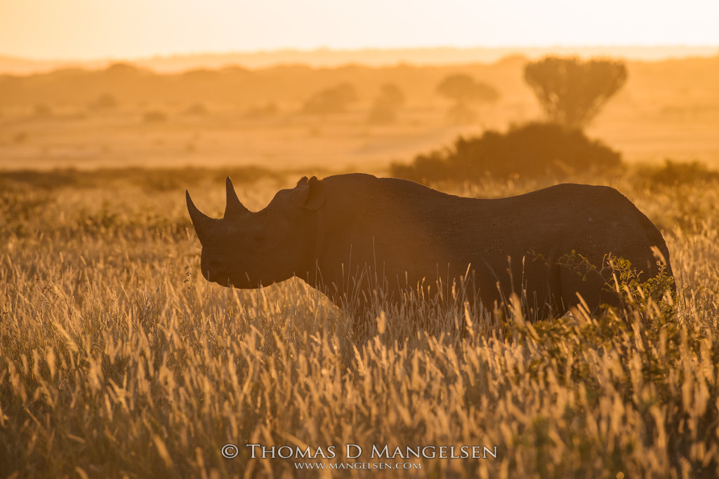 mangelsen_saving_the_wild-black_rhino_profile_of_an_icon