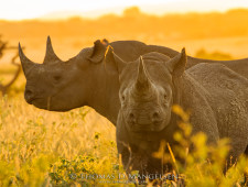 Mangelsen Black Rhino Fund – Art as a force for good