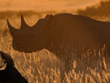 Will South Africa's President Ramaphosa save the rhinos from China?