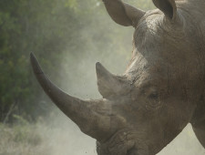 The smoke and mirrors battle to save the rhino
