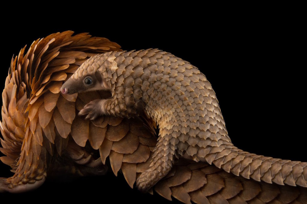 pangolin-joel-satore-photo-ark